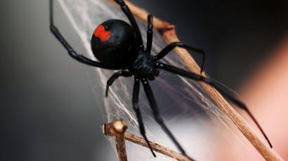 Spider Bites Australian Man On Penis Again Bbc News
