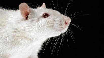 коронавирус у крыс