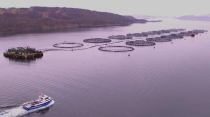 Salmon farming giant Mowi probed over chemical use - BBC News