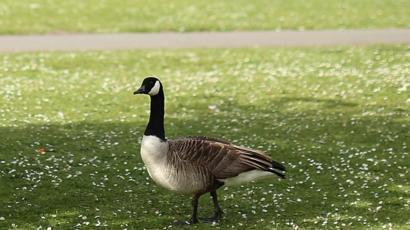 e5381798a71 US hunter knocked unconscious by Canada goose - BBC News