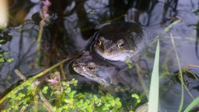 Dos ranas apareándose