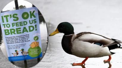 Feeding Ducks Bread Should You Do It Bbc News