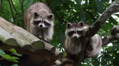 Escaped raccoon asleep in Drusillas playground - BBC News