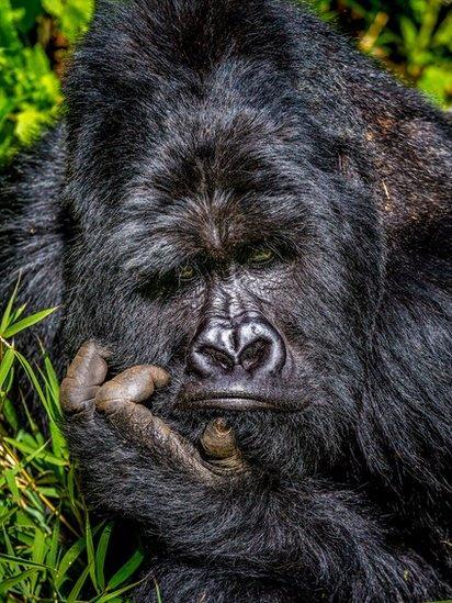 Gorila Mgahinga segurando sua cabeça no Parque Nacional de Uganda