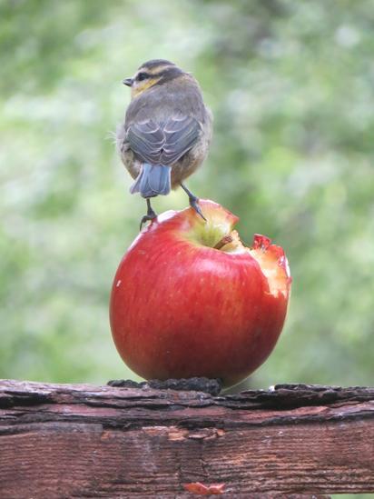 Blue tit on an apple