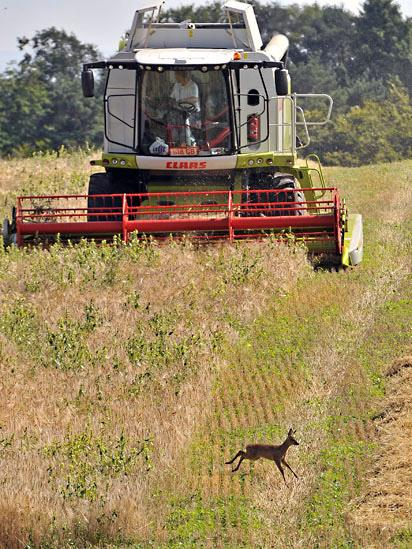 Deer running from a combine harvester