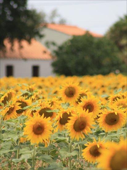Sunflowers growing in a field in France.