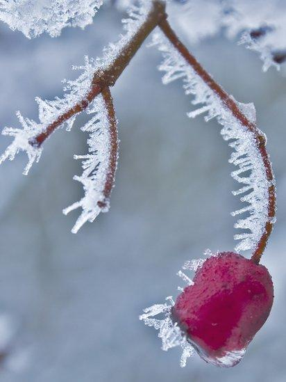 Berry in snow