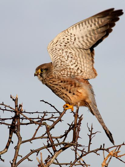 Kestrel about to take flight