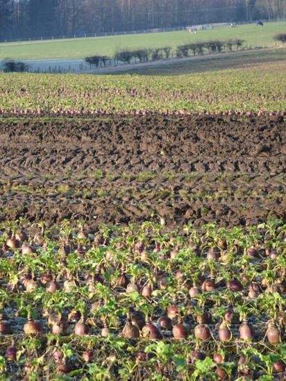 Field of turnips