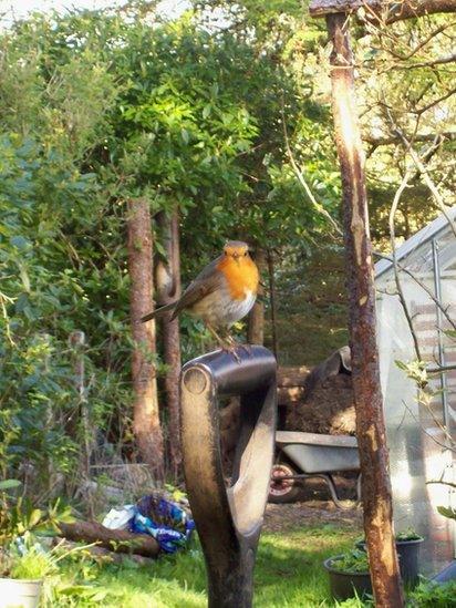Robin sitting a garden spade