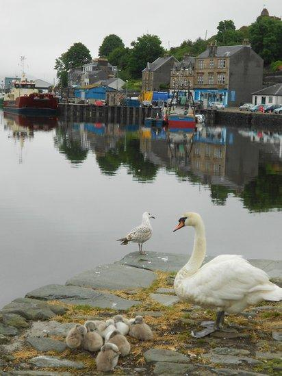 A swan and cygnets by the harbour in Tarbert