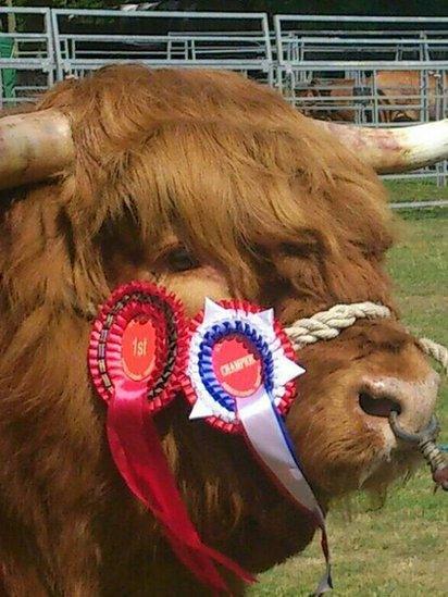 Prize-winning Highland bull