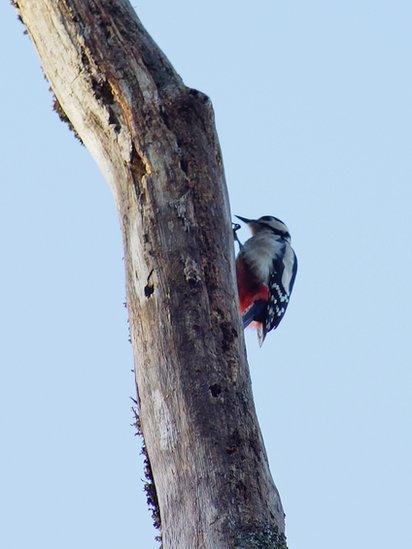 woodpecker in Balloch Park