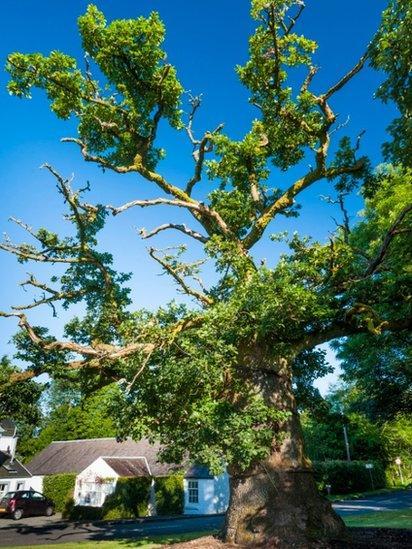 Clachan Oak