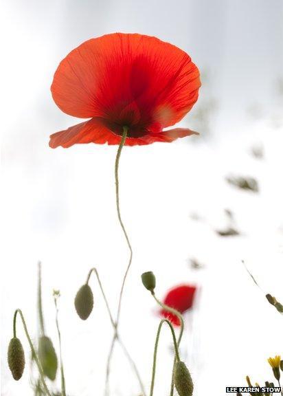 Poppy from below