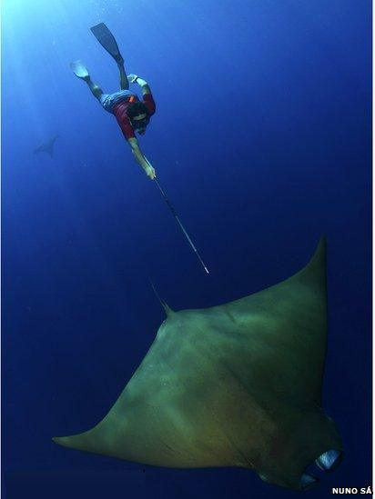 Diver taking devil ray biopsy