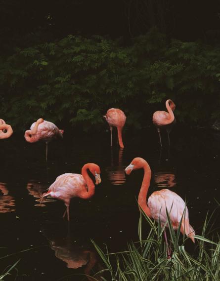 مجموعة من طيور الفلامنغو (البشروش) في الماء