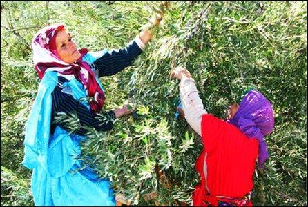 Women picking olives in Kairouan, Tunisia