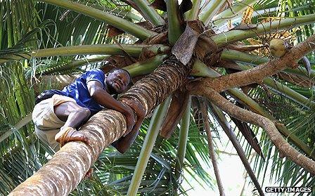Worker climbing a palm tree