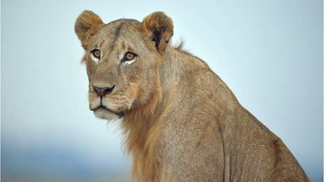 Are lion hunters in South Africa shooting tame animals