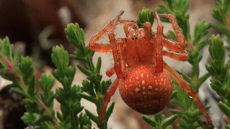 Strawberry spider