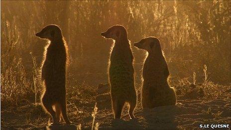 Unlocking meerkats' alarm calls
