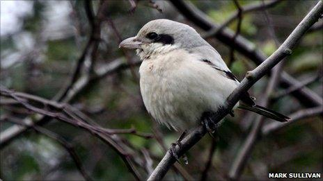 Steppe Grey Shrike [Pic: Mark Sullivan]