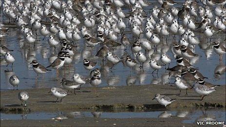 Guernsey wading birds