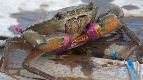 A crab almost ready to be sold in the market