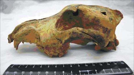 33,000 year-old dog skull (Ovodov/Plos One)