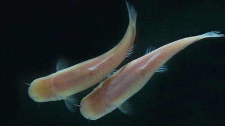 Fish living in dark caves still feel the rhythm of life