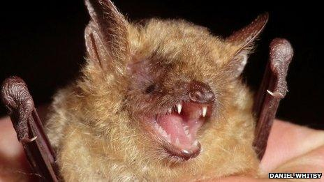 The male Geoffroy's bat was discovered on the South Downs in West Sussex