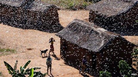 Swarm of locusts in Madagascar