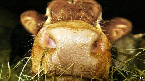 Cow (file image)
