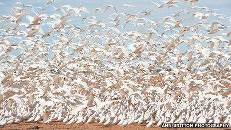 Cockatoos on the ground in Boulia