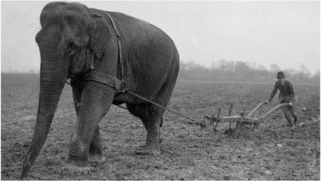 Elephant ploughing field in Horley in 1926