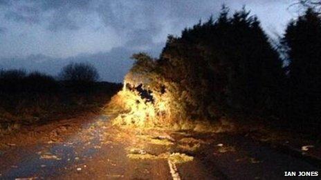 Fallen tree at Llandegla in Denbighshire