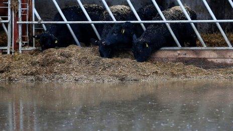 cows in Langport