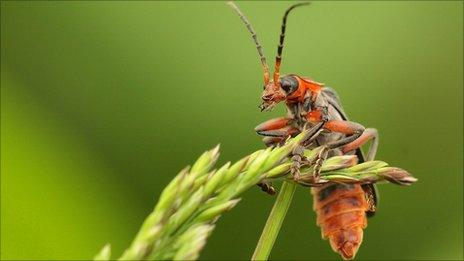 A Soldier beetle. Photo by Greg Hitchcock