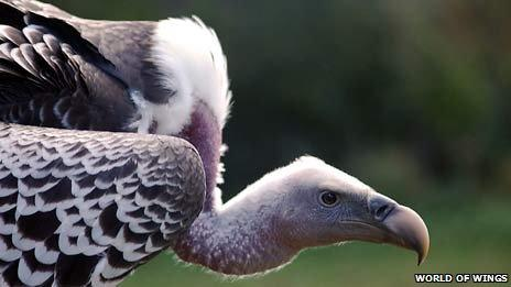 Gandalf the vulture. Courtesy of World of Wings