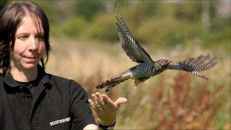 Wildlife assistant Lorraine Gow releases the cuckoo