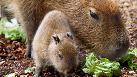 Baby capybara with parent, Paignton Zoo