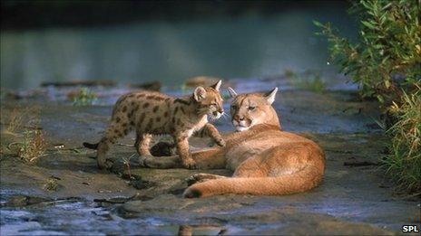 Puma and her cub
