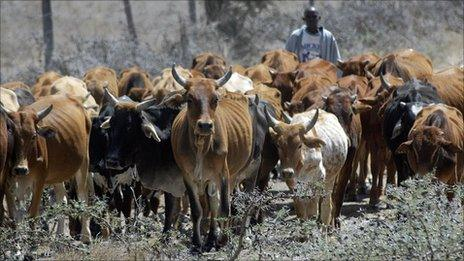 A herder with his emaciated cows in Kajiado district in 2006