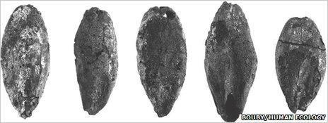 Malted barley grains (Bouby/Human Ecology)