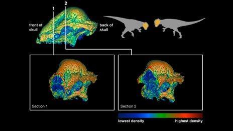 Stegoceras skull density (Theodor/UofCalgary)