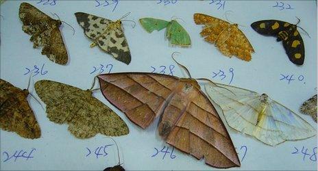 Geometrid moths (Credit: I-Ching Chen)