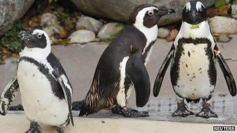 Toronto Zoo penguins Buddy (centre) and Pedro (right) with female penguin (left) 8 November 2011