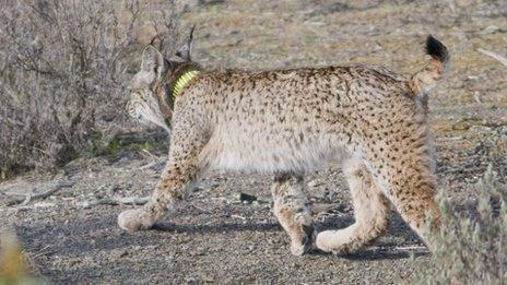 Iberian lynx (Guillermo Lopez)